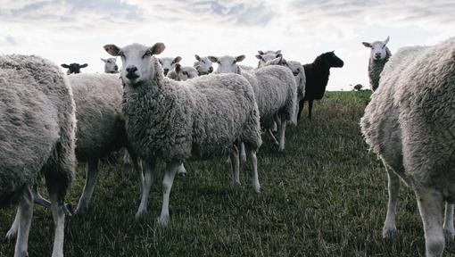 Gåvetorps lamm